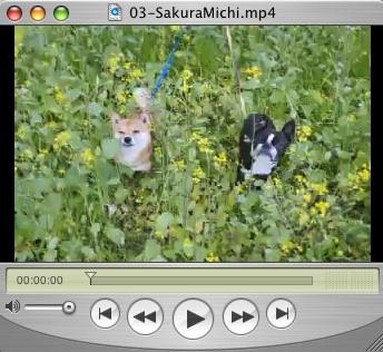 Sakuramichi_2